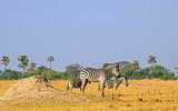 Fototapeta Fototapeta z zebrą - Plains zebra standing on the vast dry  yellow grassland on Hwange National Park, Zimbabwe, © paula