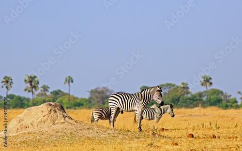 Plains zebra standing on the vast dry  yellow grassland on Hwange National Park, Zimbabwe, - 244180943