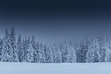 Majestic winter landscape, pine forest with trees covered with snow. A dramatic scene with low black clouds, a calm before the storm - 244189516
