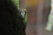 Bird-voiced tree frog up close on tree