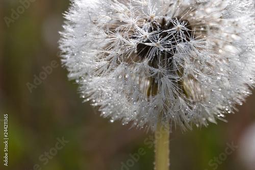 Pusteblume mit Wassertropfen - 244211365