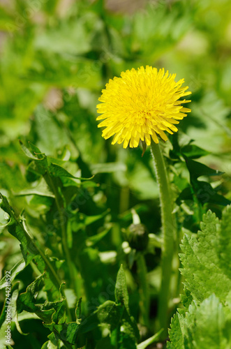 faded dandelions in late spring. - 244218592