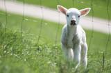 Schaf am Hang - 244225560
