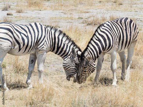 Two hugging zebras in love. Etosha national park, Namibia - 244228983
