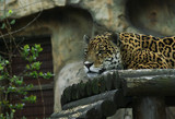 The leopard (Panthera pardus) is one of the five species in the genus Panthera.