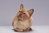 Fototapeta Koty - kitten breed Burma on a light background © Alexey Boyarskikh