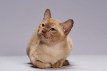 kitten breed Burma on a light background