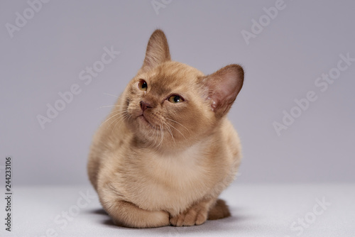 kitten breed Burma on a light background - 244233106