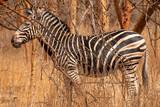 Fototapeta Fototapeta z zebrą - Zebras in the Bandia Reserve, Senegal © evenfh