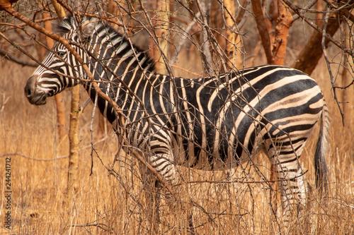 Zebras in the Bandia Reserve, Senegal - 244241712