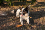 Jack Russell Terrier dog photo - 244244189