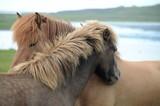 Cavalli islandesi affettuosi  - 244247994
