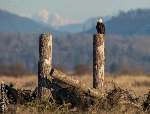 Poster Bald Eagle