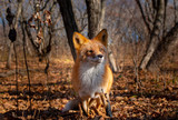 red fox in forest - 244258726