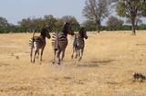 Fototapeta Fototapeta z zebrą - Zebras on Safari © Lindsmo