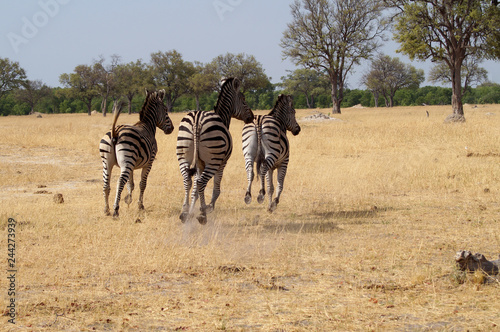 Zebras on Safari - 244273939