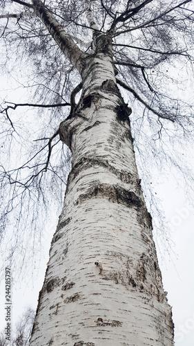 Trunk of Silver Birch (Betula pendula);  shot to top of tree - 244285797