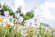 Dandelions in spring meadow, retro filter