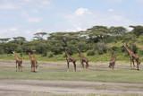 Famiglia di giraffe in Tanzania - 244297353