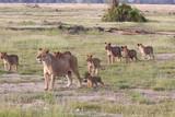 Leonessa con cuccioli nella savana Kenya
