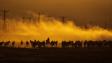 Fototapeta Konie - Wild horses leads by a cowboy at sunset with dust in background. © danmir12