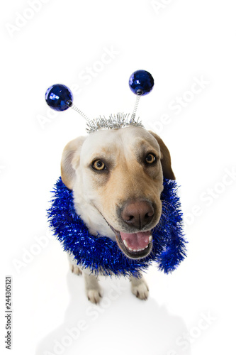 FUNNY DOG PARTY. BIRTHDAY OR NEW YEAR. LABRADOR RETRIEVER WITH A HEADBAND O DIADEM WITH BLUE DISCO BALL BOPPERS LIKE A ALIEN AND A TINSEL GARLAND.ISOLATED SHOT AGAINST WHITE BACKGROUND. - 244305121