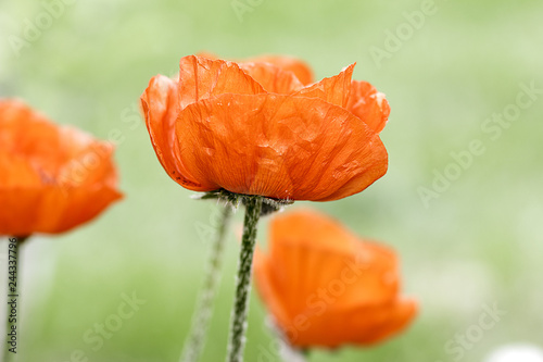 Red poppy flowers on blur green grass background. Poppy Flowers Field. Floral natural spring background. - 244337796
