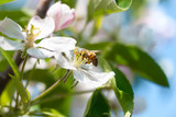 Bee on a flower apple trees. - 244353763