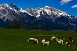 Kühe vor Bergkette - 244357940
