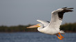 American White Pelican taking flight over the Gulf of Mexico - Florida
