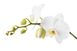Fototapeta Storczyk - Blooming white orchid isolated from the background. Branch of beautiful blooming flowers close-up © Sergey Chayko