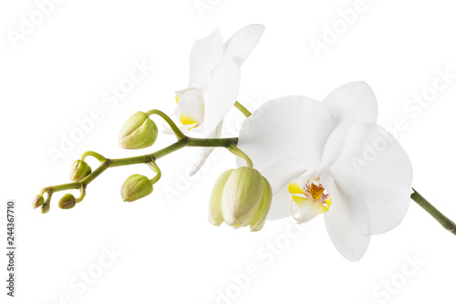 Blooming white orchid isolated from the background. Branch of beautiful blooming flowers close-up - 244367710