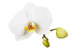 Blooming white orchid isolated on white background