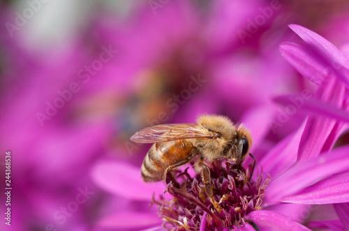 Honeybee collecting pollen from an Aster flower. - 244368536