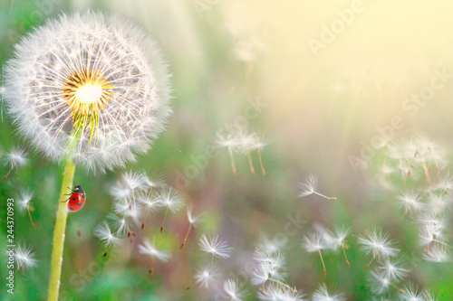 dandelions close-up on nature in spring against backdrop of summer. The wind blows away seeds of dandelions, template for summer vacations on nature. ladybug