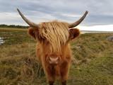 Vaca de las tierras altas, highlands