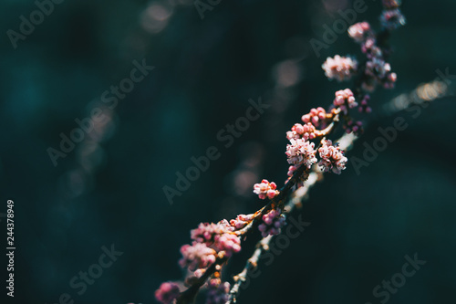 Leinwandbild Motiv Close-up of some pink small flowers of tamarix chinensis