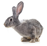 Grey big rabbit. - 244381398