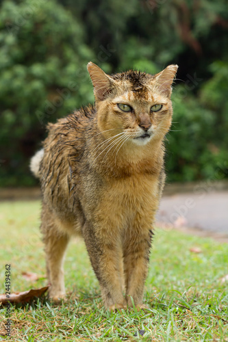 a wet brown colour stray cat standing on the grass in the park with green eyes.