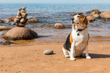Beagle with sunglasses sits on the sea beach on background of a stone pyramid - 244408129