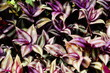 Purple leaf background. Tradescantia