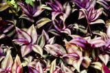 Purple leaf background. Tradescantia  - 244408347