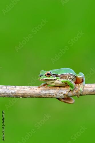 fototapeta na ścianę Beautiful Europaean Tree frog Hyla arborea - Stock Image