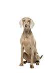 Weimaraner dog, female, sitting isolated on white background looking at the cam - 244411162