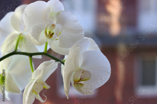 White orchid - 244412168