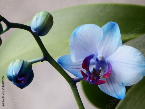 Orchid - 244412500