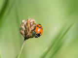 An adult Asian ladybeetle sitting on a dry flower