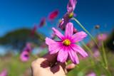 Fototapeta Kosmos - pink cosmos flower in hand © geargodz