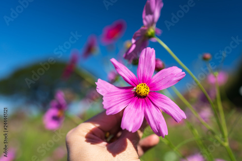 pink cosmos flower in hand