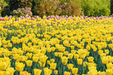 Fototapeta Tulipany - Tulip flower bulb field in the garden, Spring season in Amsterdam Netherlands © Noppasinw
